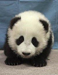 аватарка для контакта маленькая панда