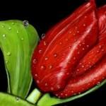рисунок тюльпан
