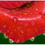 рисунок лепесток розы