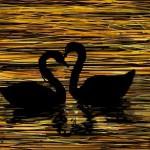 рисунок лебеди